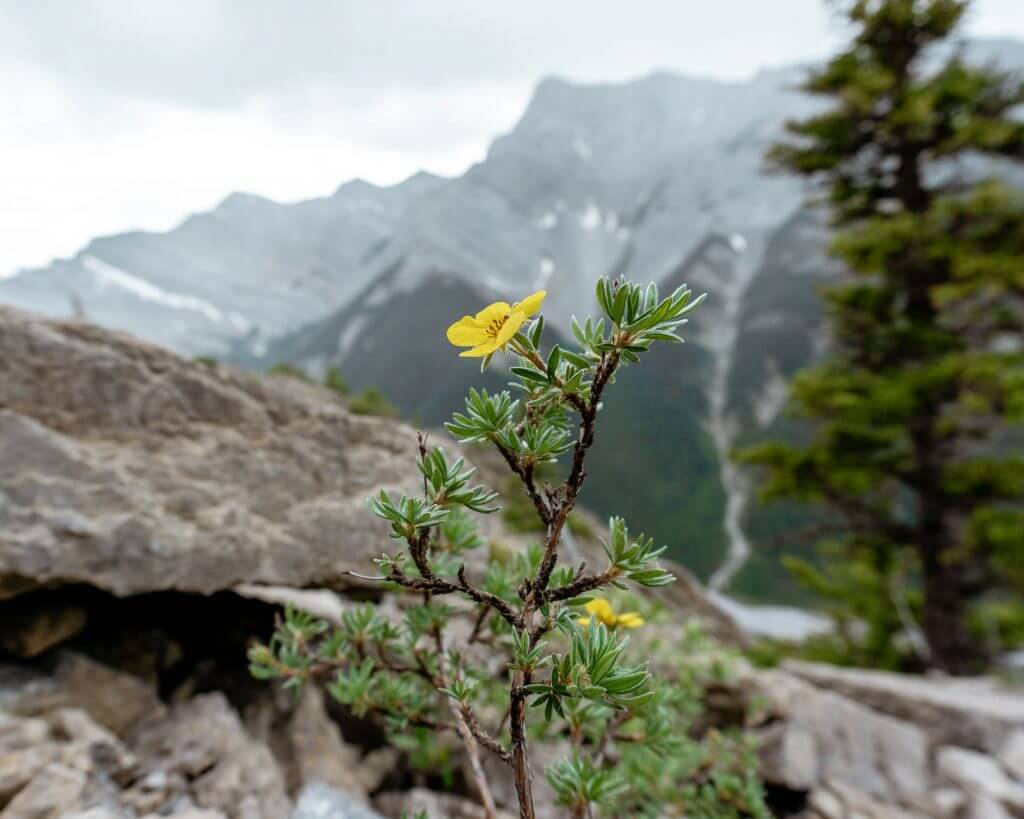 Flowers along Wasootch Ridge in Kananaskis.