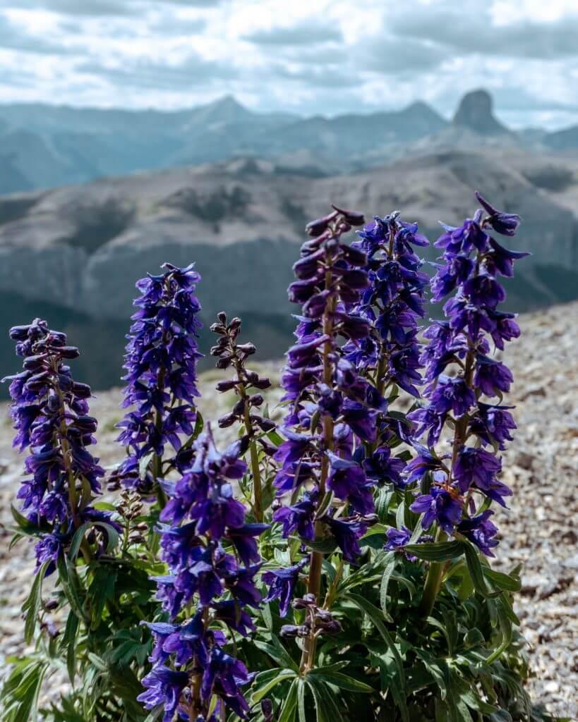 Beauitful Alberta flowers.