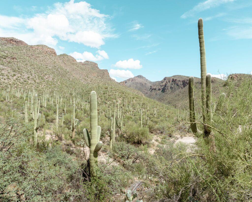 Beautiful Arizona Cacti.