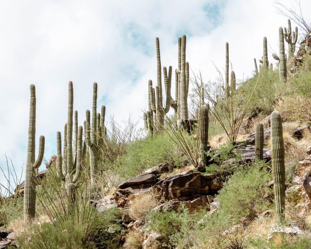 Cacti in Tucson, Arizona.