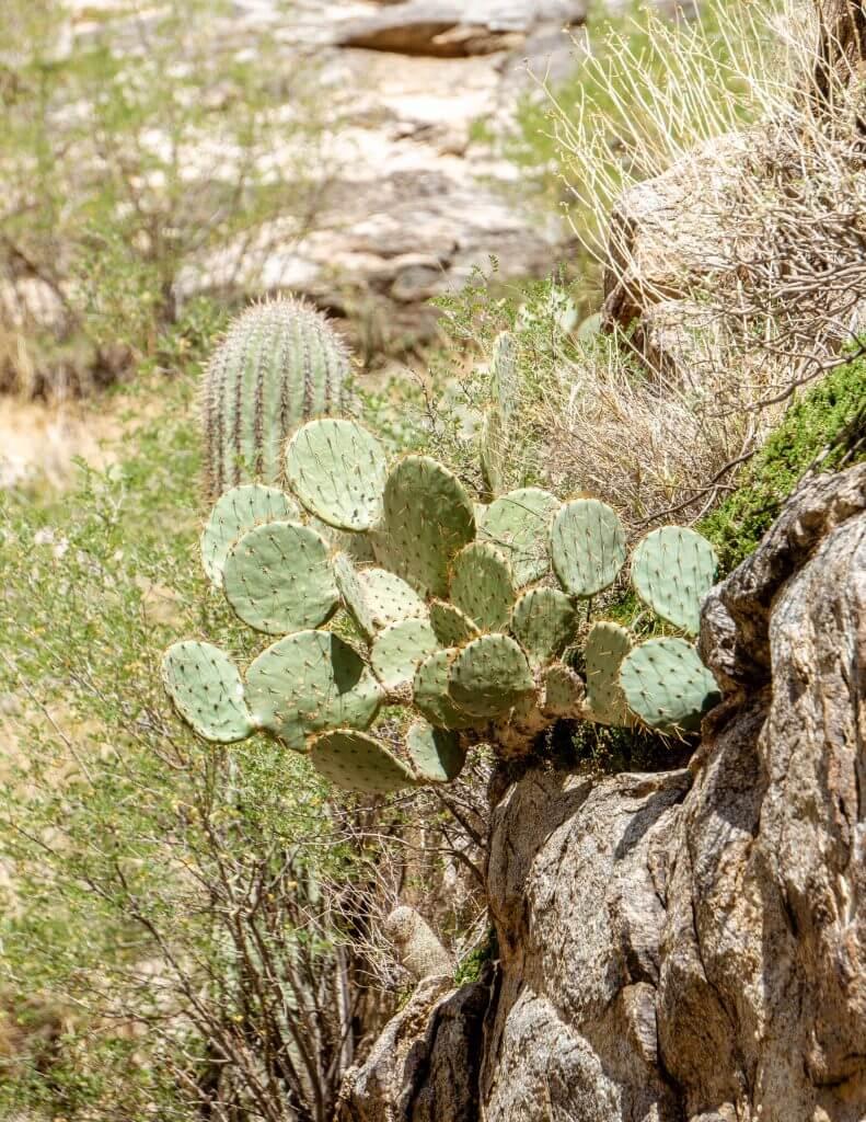 Cacti in Tucson Arizona.