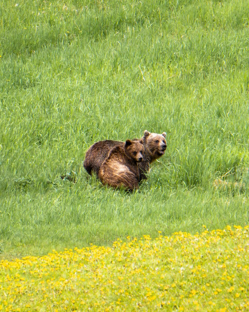Two Grizzly's in Alberta.