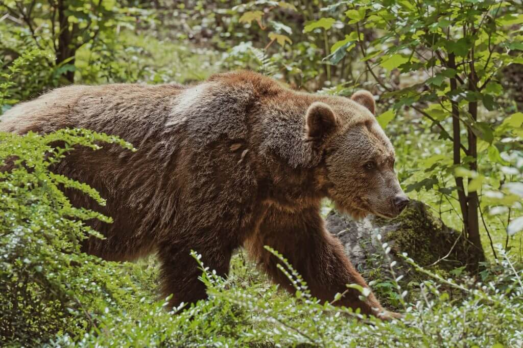 Grizzly Bear in the the mountains.