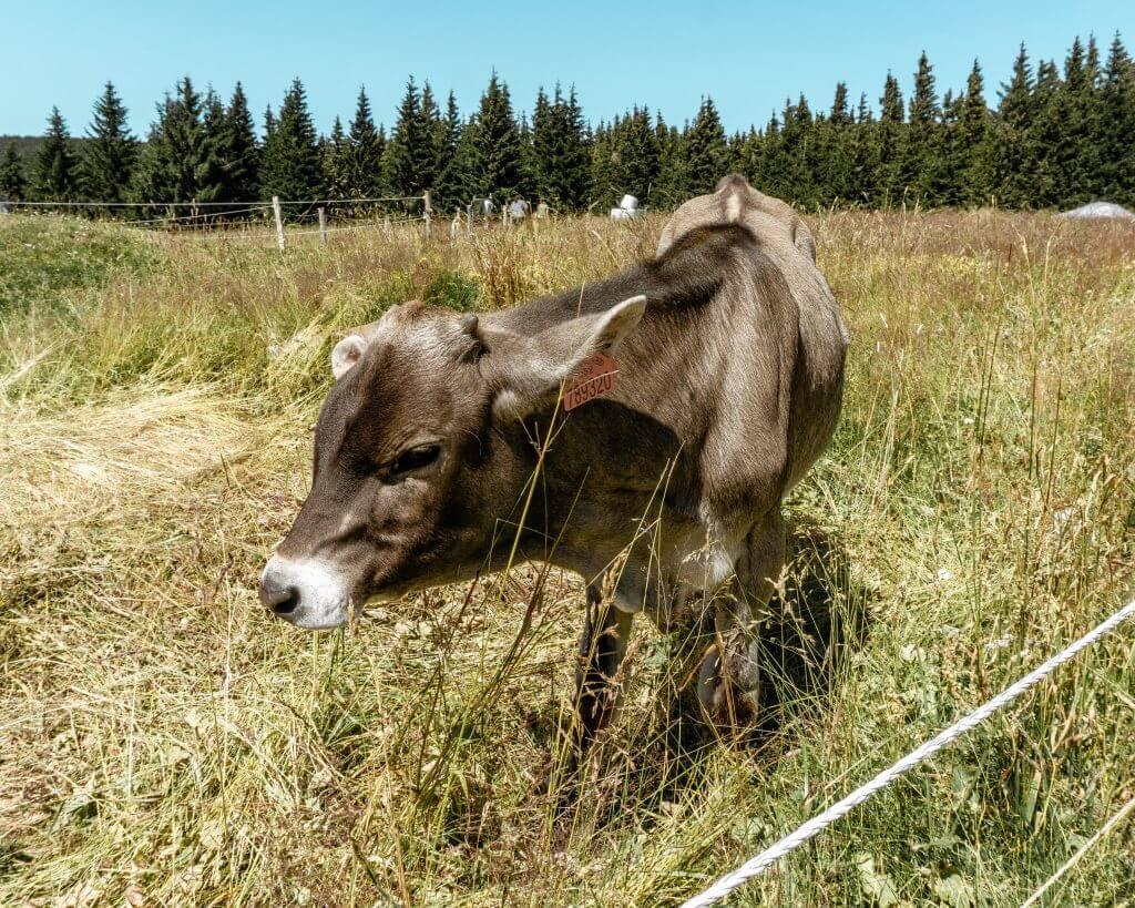 Cute little cow in Czech Republic.