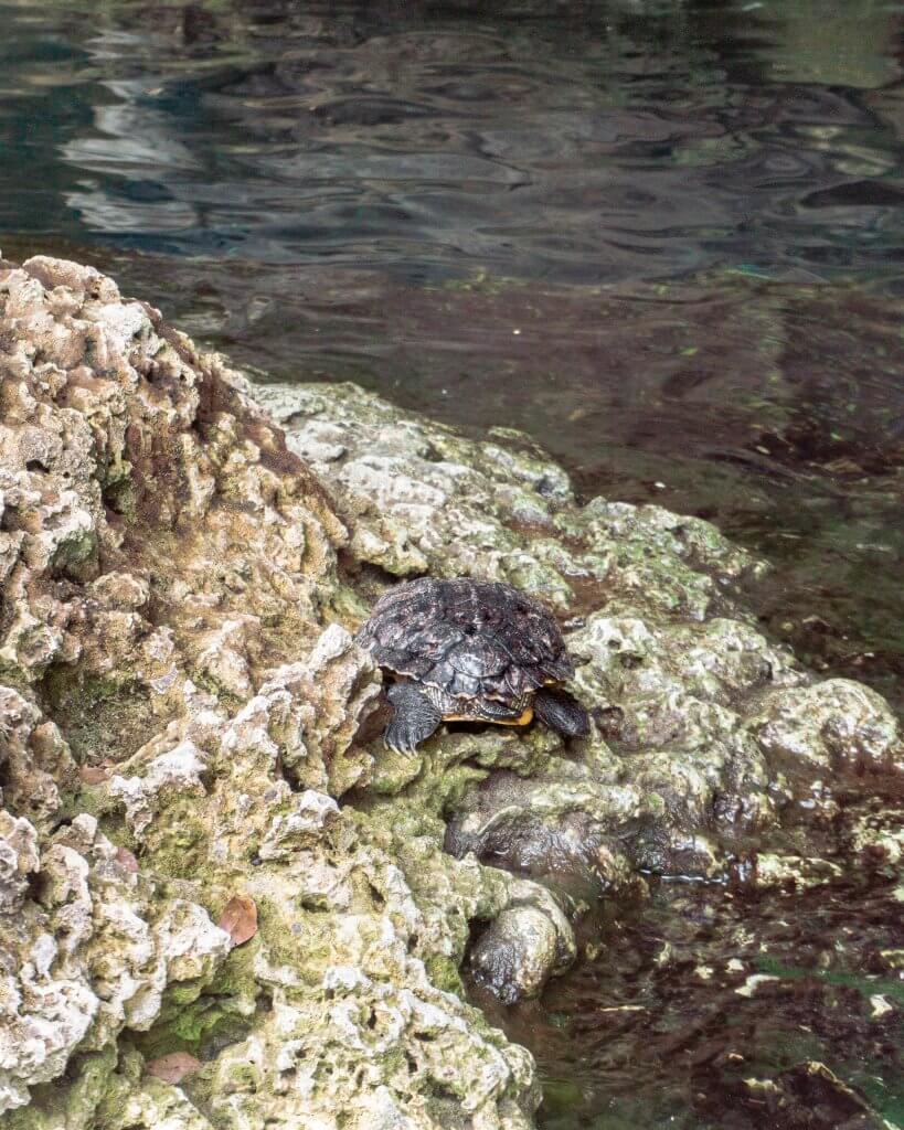 Little cute turtle in a cenote in Mexico.