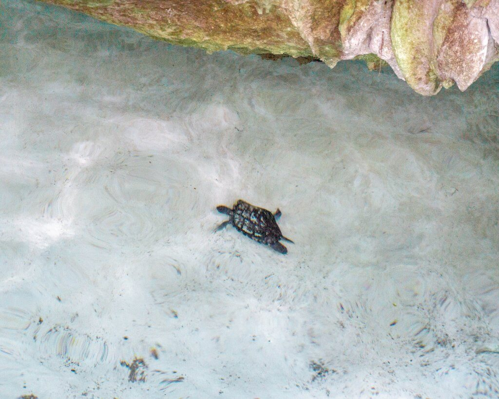 Little turtle swimming in water in Mexico.